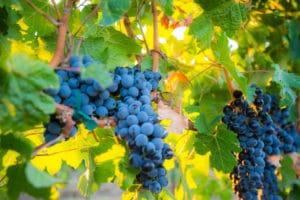 vineyard photography by brandcraft marketing